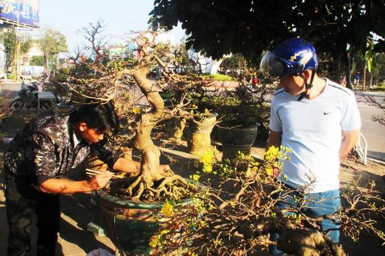 Xuất hiện nhiều mai bonsai cổ phục vụ Tết  ảnh 1