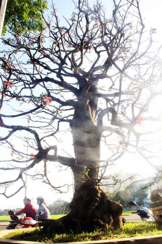 Xuất hiện nhiều mai bonsai cổ phục vụ Tết  ảnh 6