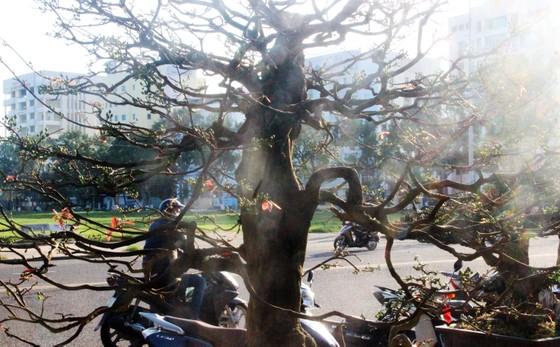 Xuất hiện nhiều mai bonsai cổ phục vụ Tết  ảnh 7