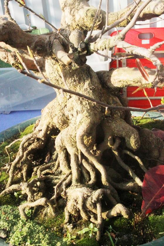 Xuất hiện nhiều mai bonsai cổ phục vụ Tết  ảnh 5