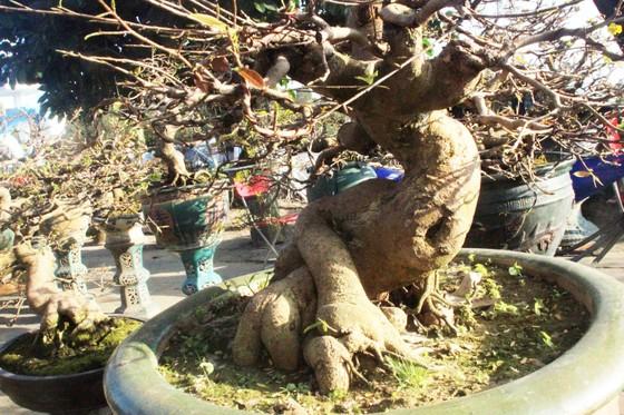 Xuất hiện nhiều mai bonsai cổ phục vụ Tết  ảnh 8