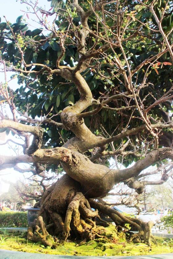 Xuất hiện nhiều mai bonsai cổ phục vụ Tết  ảnh 9