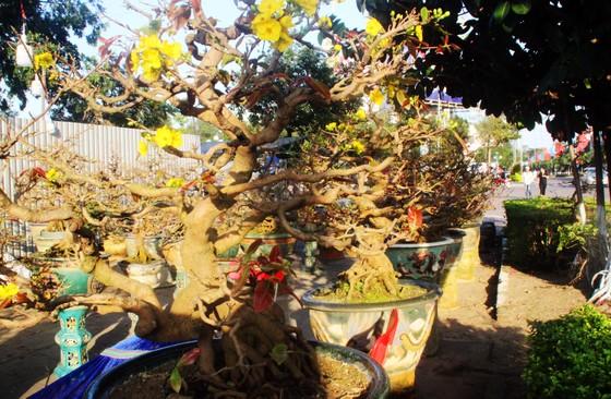 Xuất hiện nhiều mai bonsai cổ phục vụ Tết  ảnh 3