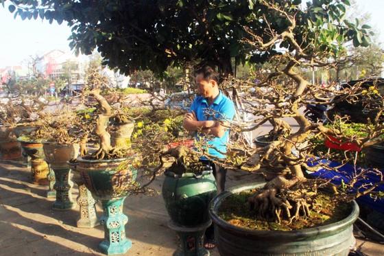 Xuất hiện nhiều mai bonsai cổ phục vụ Tết  ảnh 2