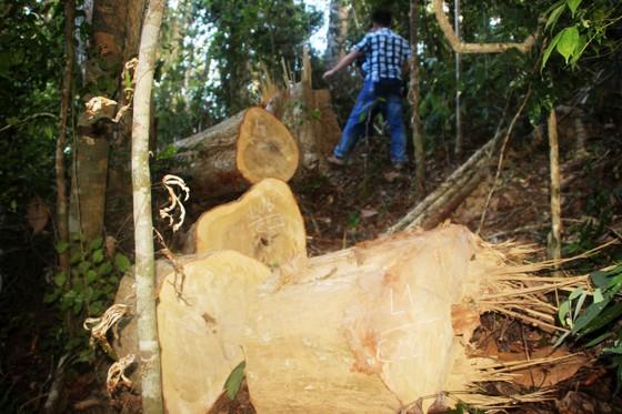 """Lâm tặc """"xẻ thịt"""" rừng phòng hộ Bình Định: Xem xét kỷ luật cán bộ, lãnh đạo để """"mất rừng"""" ảnh 1"""