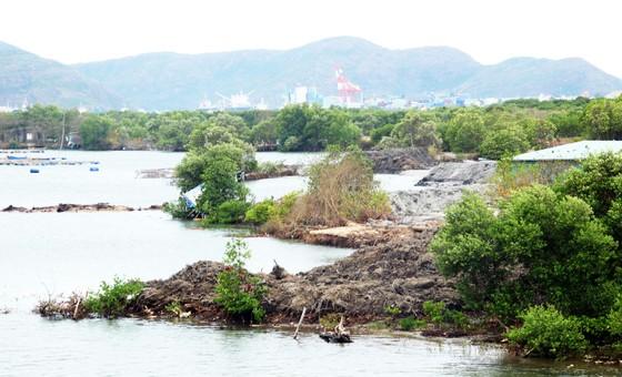 Rừng ngập mặn ven đầm Thị Nại đang bị băm nát ảnh 3