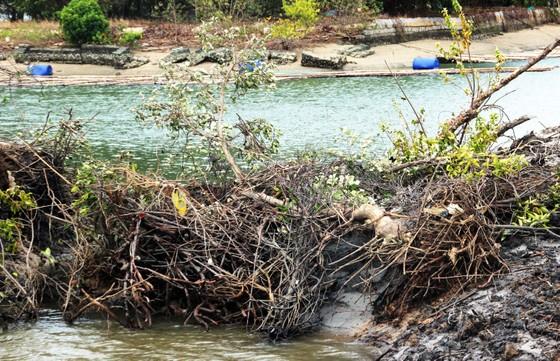 Rừng ngập mặn ven đầm Thị Nại đang bị băm nát ảnh 4
