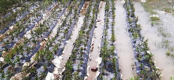 Vựa mai lớn nhất miền Trung đưa mai đi tránh bão ảnh 12