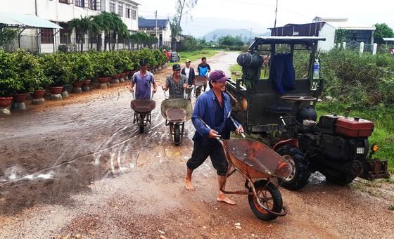 Vựa mai lớn nhất miền Trung đưa mai đi tránh bão ảnh 11
