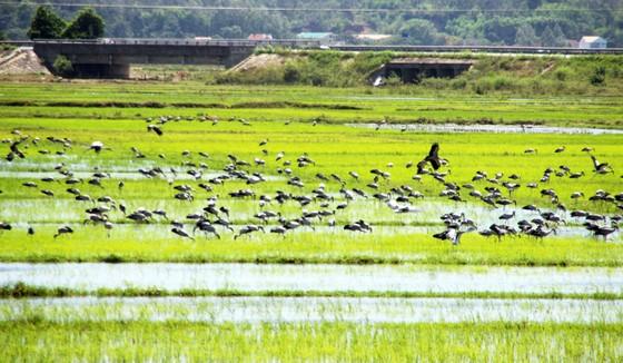Đàn chim 'lạ' cả ngàn con xuất hiện tại cánh đồng Quảng Ngãi ảnh 4