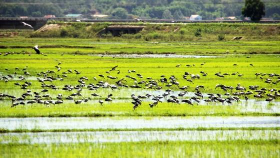 Đàn chim 'lạ' cả ngàn con xuất hiện tại cánh đồng Quảng Ngãi ảnh 1