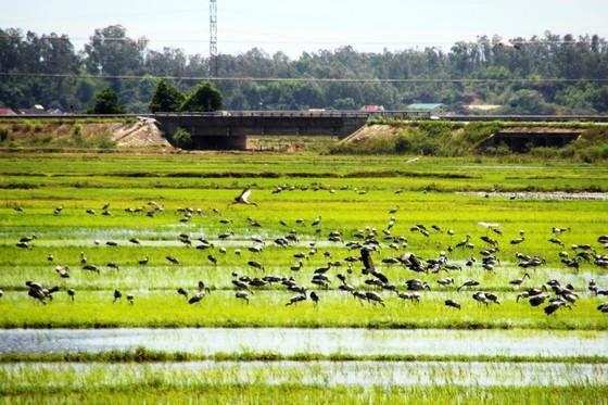 Đàn chim 'lạ' cả ngàn con xuất hiện tại cánh đồng Quảng Ngãi ảnh 6