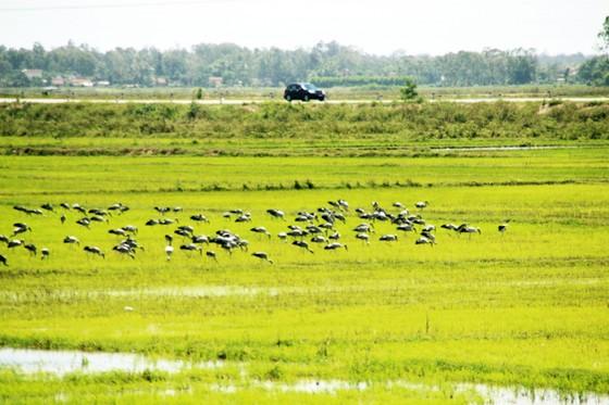 Đàn chim 'lạ' cả ngàn con xuất hiện tại cánh đồng Quảng Ngãi ảnh 5