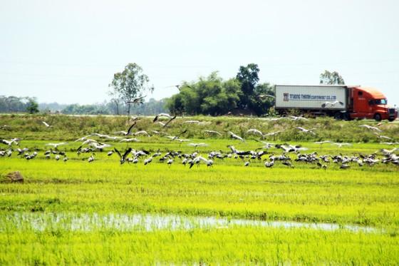 Đàn chim 'lạ' cả ngàn con xuất hiện tại cánh đồng Quảng Ngãi ảnh 3