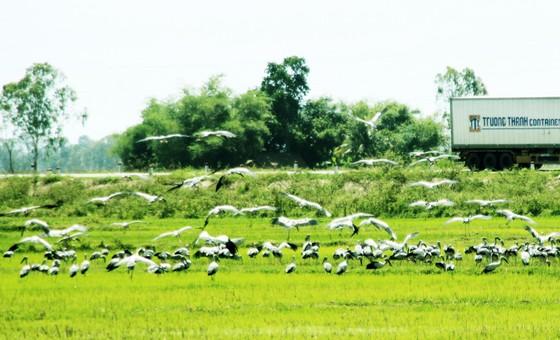 Đàn chim 'lạ' cả ngàn con xuất hiện tại cánh đồng Quảng Ngãi ảnh 2