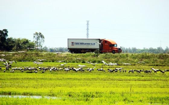 Đàn chim 'lạ' cả ngàn con xuất hiện tại cánh đồng Quảng Ngãi ảnh 7