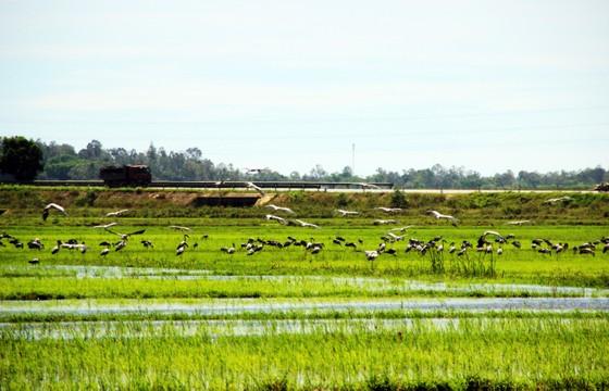 Đàn chim 'lạ' cả ngàn con xuất hiện tại cánh đồng Quảng Ngãi ảnh 8
