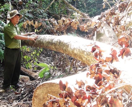 Truy tìm các đối tượng phá rừng phòng hộ ở Phú Yên ảnh 1