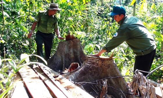 Truy tìm các đối tượng phá rừng phòng hộ ở Phú Yên ảnh 3