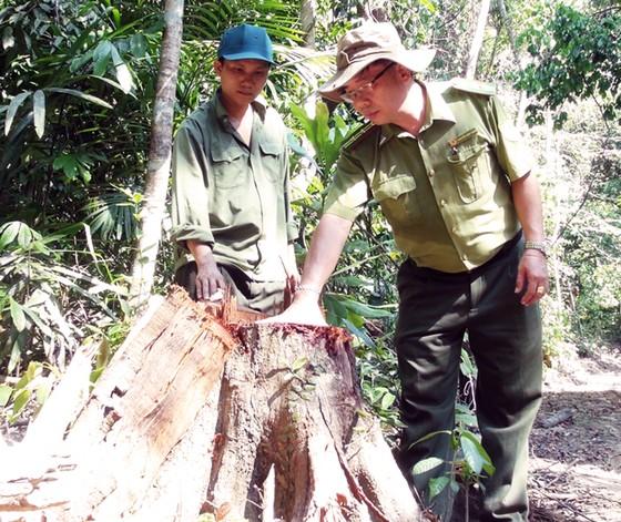 Truy tìm các đối tượng phá rừng phòng hộ ở Phú Yên ảnh 2