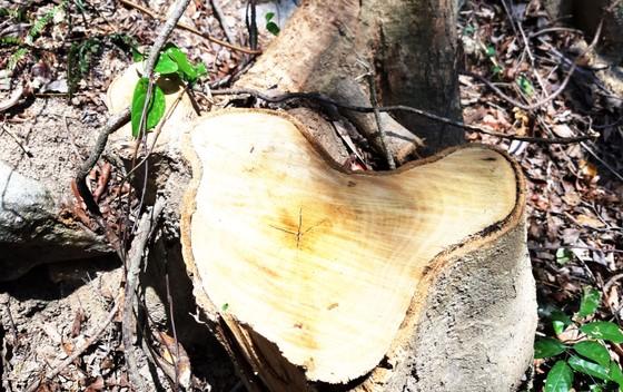 Rừng Thượng Sơn bị tàn phá nghiêm trọng ảnh 7