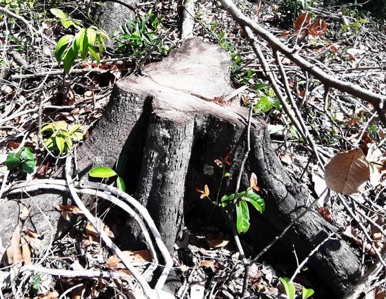 Rừng Thượng Sơn bị tàn phá nghiêm trọng ảnh 8