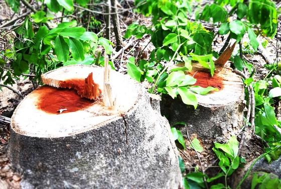 Rừng Thượng Sơn bị tàn phá nghiêm trọng ảnh 3