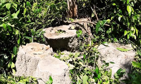Rừng Thượng Sơn bị tàn phá nghiêm trọng ảnh 9