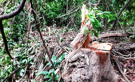 Rừng Thượng Sơn bị tàn phá nghiêm trọng ảnh 13