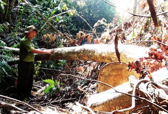 Bắt thêm 3 đối tượng liên quan đến vụ phá rừng ở Phú Yên ảnh 3