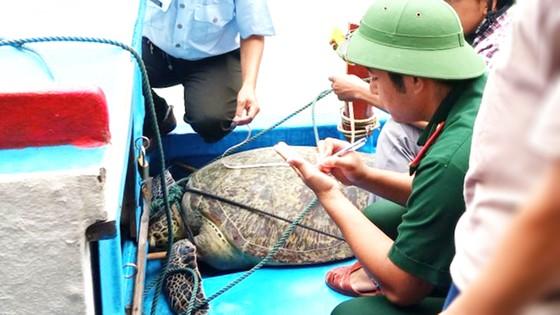 Thả một cá thể rùa xanh nặng 120kg về biển ảnh 1