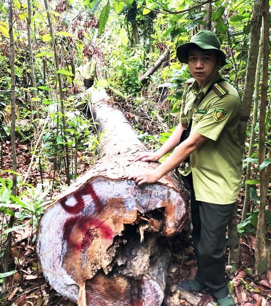 Vụ 40 cây dầu rái cổ thụ bị 'xẻ thịt' ở Quảng Ngãi: Kiểm điểm toàn Hạt Kiểm lâm ảnh 1