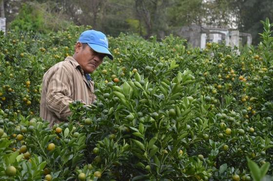 Quất tết được giá, nông dân Quảng Nam lại bất an vì thời tiết ảnh 2