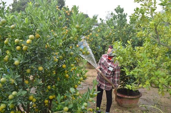 Quất tết được giá, nông dân Quảng Nam lại bất an vì thời tiết ảnh 1