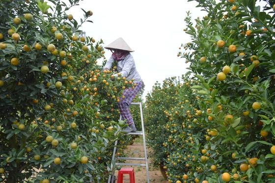 Quất tết được giá, nông dân Quảng Nam lại bất an vì thời tiết ảnh 3