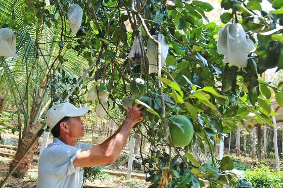 Nông dân Quảng Nam thoát nghèo nhờ bưởi da xanh ảnh 1