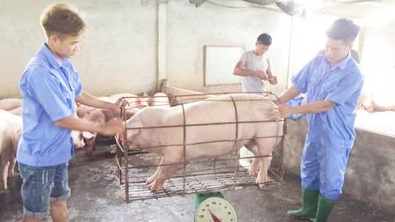 Ngân hàng tham gia giải cứu ngành chăn nuôi heo ảnh 1