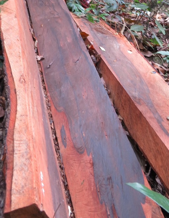 Rừng gỗ mun ở vùng lõi di sản bị phá cách đồn biên phòng 1km ảnh 1