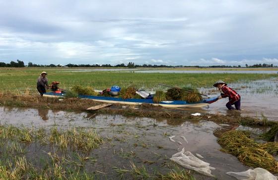 Nông dân ĐBSCL lo gặt lúa, thu hoạch hoa màu chạy lũ  ảnh 1
