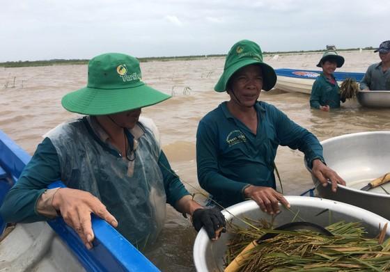 Nông dân ĐBSCL lo gặt lúa, thu hoạch hoa màu chạy lũ  ảnh 5