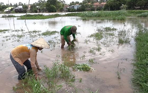Nông dân ĐBSCL lo gặt lúa, thu hoạch hoa màu chạy lũ  ảnh 4