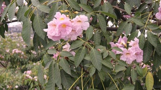 Hoa kèn hồng khoe sắc trên đại lộ ảnh 7