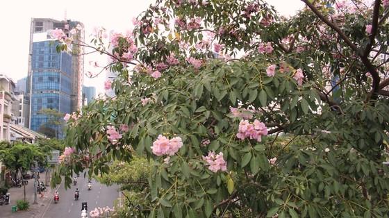 Hoa kèn hồng khoe sắc trên đại lộ ảnh 3