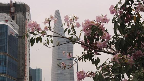 Hoa kèn hồng khoe sắc trên đại lộ ảnh 6