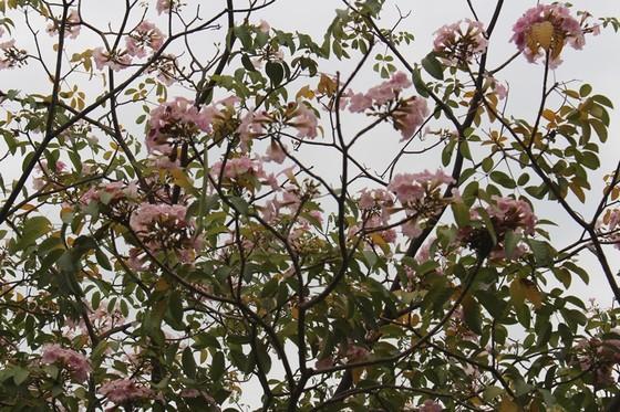 Hoa kèn hồng khoe sắc trên đại lộ ảnh 14