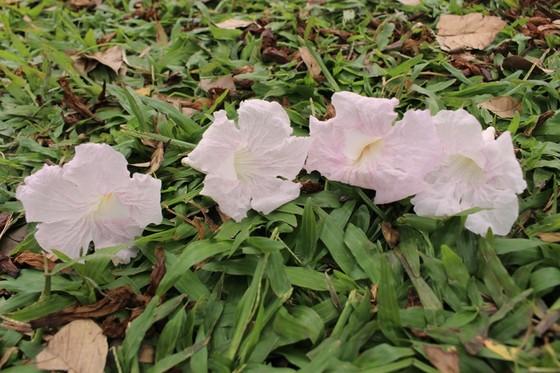 Hoa kèn hồng khoe sắc trên đại lộ ảnh 11