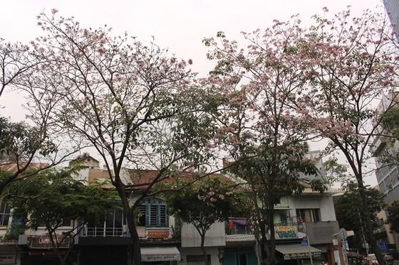 Hoa kèn hồng khoe sắc trên đại lộ ảnh 13