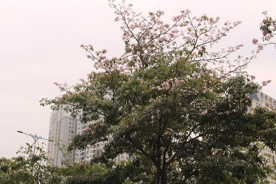 Hoa kèn hồng khoe sắc trên đại lộ ảnh 4