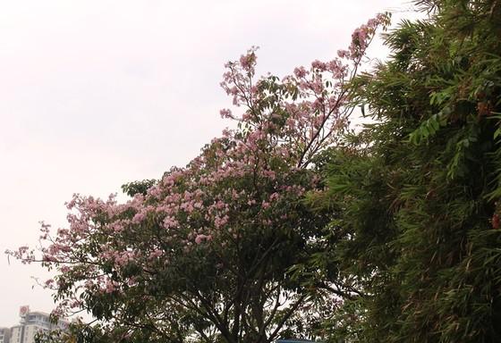 Hoa kèn hồng khoe sắc trên đại lộ ảnh 5