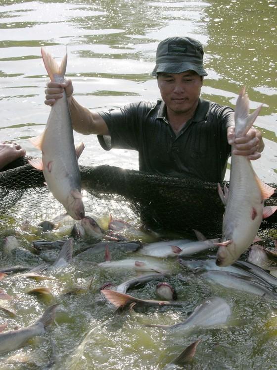 Người nuôi cá tra ở ĐBSCL thắng lớn ảnh 1